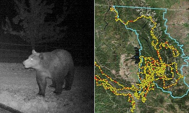 跟踪数据显示,灰熊在主要街道和公路令人难以置信的4500公里长途跋涉