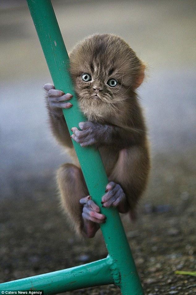 可爱或令人毛骨悚然?科学怪人艺术家photoshops小猫的脸在猴子的身体 得到令人不安的结果