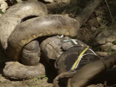 snake-eaten-alive_wide-2af32606b8a0bf464413b08efb70003bd4311f59-s900-c85