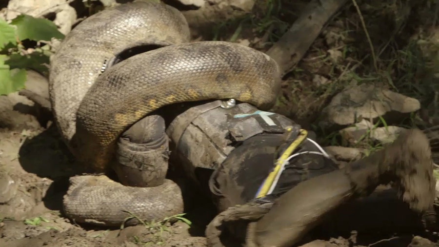 男子穿防护服被蟒蛇生吞节目播出:《探索频道》视制片人以身试蛇口被吞视频