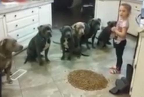 四岁女孩让六个饥饿的大斗牛犬等待她的命令 才可以开饭