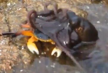 章鱼突然水中跳出捉住螃蟹 拖其下水