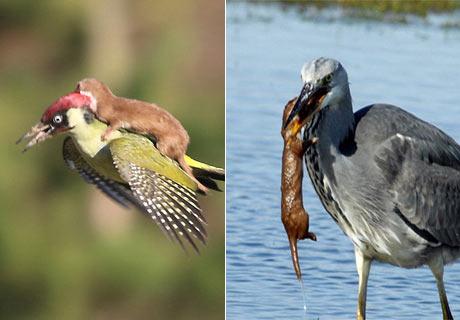 原以为是这样的,实际是这样的:苍鹭和一只黄鼠狼之间的斗争谁会胜利