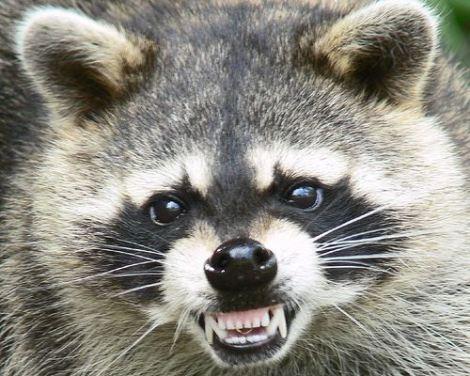 75岁妇人动物园参观遭浣熊攻击 徒手将其掐死