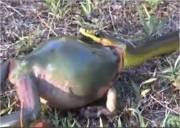 实拍小蛇想吞食青蛙 无奈青蛙太胖最终放弃