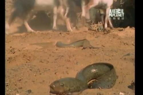 一条忍着不死的鱼:脱水状态6个月仍存活