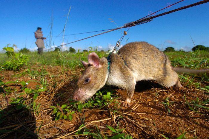 英雄巨鼠:非洲巨鼠被训练成排雷精英