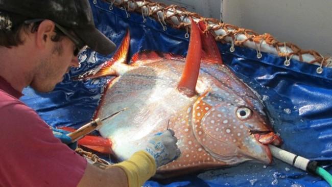"""月亮鱼成唯一""""热血""""鱼:科学家刚刚发现了世界上第一个热血鱼"""