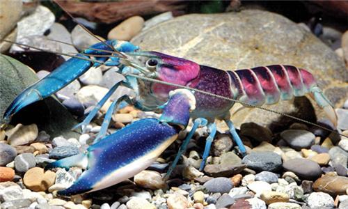 新发现:世界上最美的小龙虾