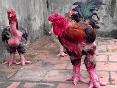 越南怪鸡腿粗堪比手腕 一斤鸡肉卖60元