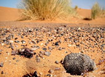 最耐热生物:撒哈拉银蚁如何在75°沙漠保持凉爽?