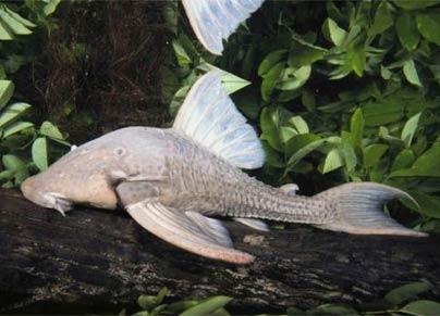 亚马逊雨林发现食木甲鲶鱼 长有甲壳而且专吃木头