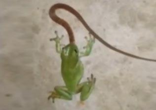 实拍青蛙吞活蛇 一气呵成不给喘息机会