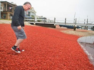 红金枪鱼蟹入侵南加州海岸