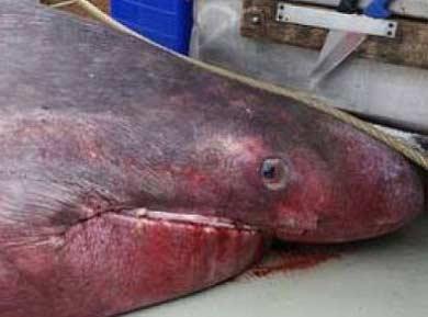 6.5米长深海怪物!澳大利亚渔民捕获史前巨鲨