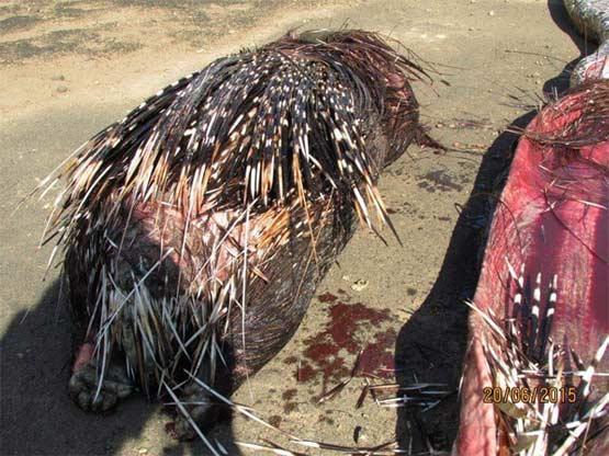 非洲岩蟒贪吃13.8公斤豪猪被刺穿内脏