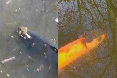 罕见!实拍蛤蟆水中骑锦鲤兜风