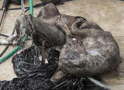 这是一个卓柏卡布拉?德州园艺师声称他的狗杀死了神兽