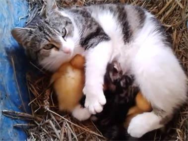 猫妈妈保护鸭宝宝视频