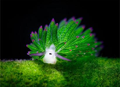 海羊吗?这个可爱的海蛞蝓吃藻类 可光合作用