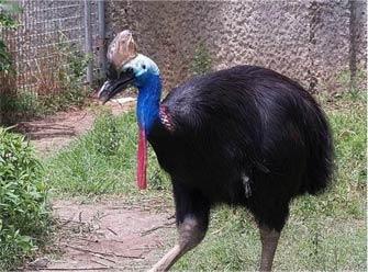 """澳大利亚""""食人鸟"""" 看到它就自求多福吧"""