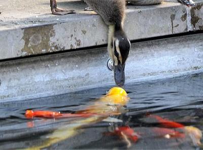 意想不到的初吻:小鸭子喝水遭锦鲤强吻