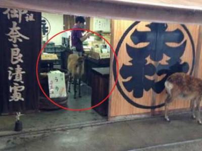 日本奈良的鹿跑店里避雨 生意没法做了