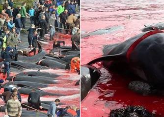丹麦法罗群岛海滩250头鲸鱼遭宰杀 血染红整个海湾
