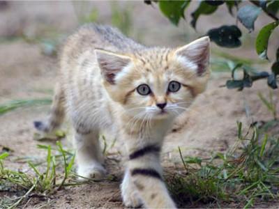沙猫:这些猫是成年沙猫 但看起来像小猫