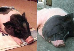"""女子买入""""小香猪"""" 一年长成200斤大肥猪"""