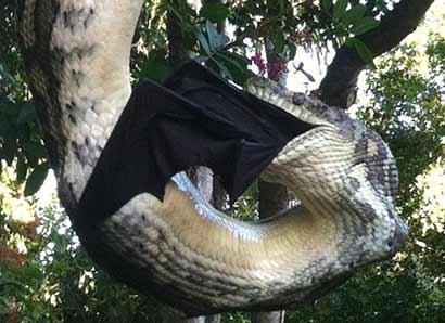 巨蟒捕食巨型蝙蝠 挂在树上30分钟将猎物吞噬