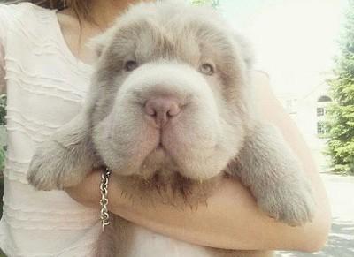 这只可爱松狮犬看起来像一只玩具熊
