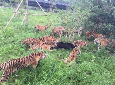 十只老虎咬死黑熊:上海野生动物园黑熊吴闯虎山被分食
