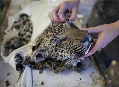 揭秘非洲血腥动物标本加工 场面触目惊心