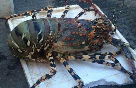 小伙钓到6斤重超级龙虾 老板8万元求购遭拒
