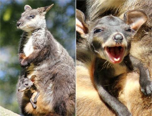 对着相机微笑!可爱的刷尾岩袋鼠宝宝从母亲的袋子冒出来