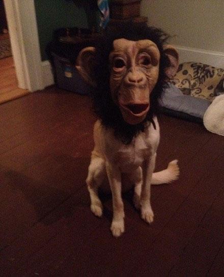 猴子头套|二货主人给狗狗带上头套之后……整个画风都变了