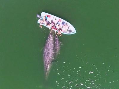 温顺灰鲸母子追随游船 任游客抚摸