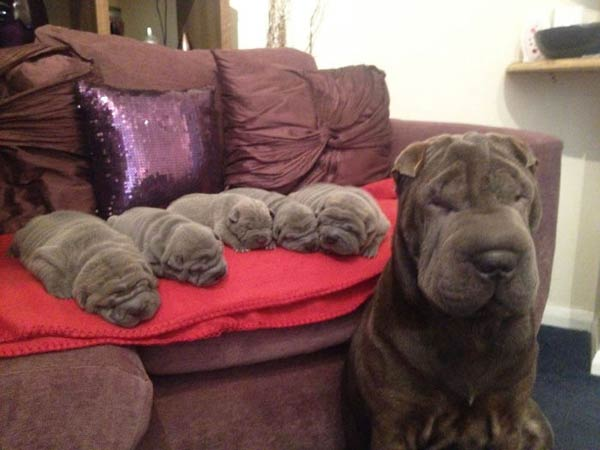 16个可爱狗狗的亲子照片 简直一毛一样