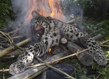 印度豹子伤5人后 村民将其打死并焚尸