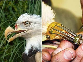 感动!一只鹰上喙被子弹打掉 被好心人救起