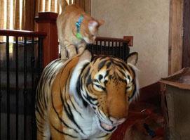 网购一只老虎 家里的喵星人把它当成了兄弟
