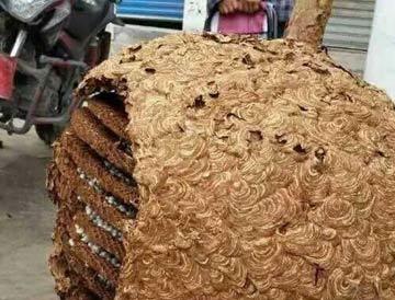 湖南湘西发现巨型马蜂窝 直径1.5米重78斤
