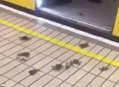 英国大闸蟹侵袭地铁站 出售无人问津
