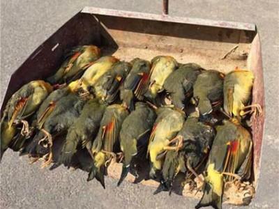 相思鸟自杀 20只相思鸟集体自杀是怎么回事