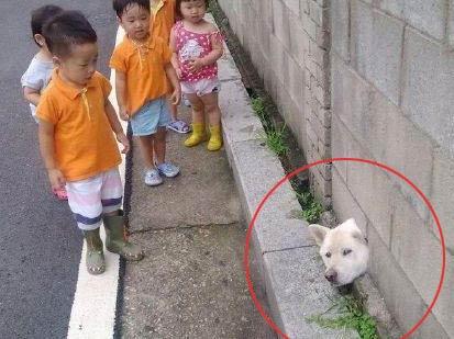 柴犬,有时候真是一种让自己进退两难的尴尬生物