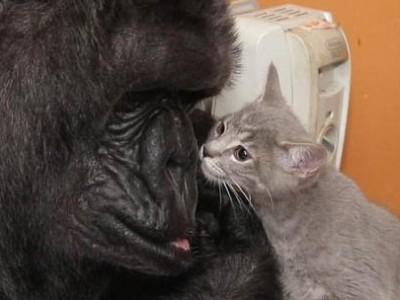 黑猩猩无后 领养小猫当孩子