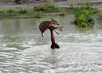 孟加拉小男孩被洪水淹没头顶拯救小鹿获赞