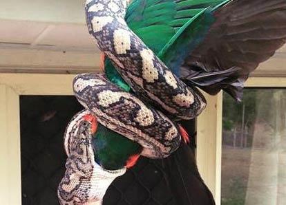 屋顶倒吊2米巨蟒 国王鹦鹉在主人面前被巨蟒吞掉