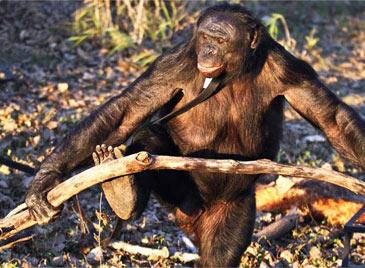 黑猩猩都会生火做饭!生活已经如此艰难